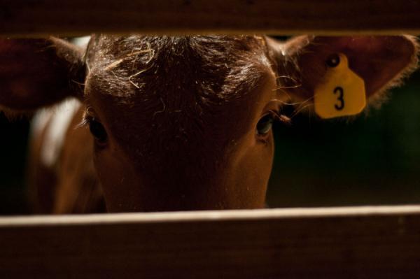 resizedimage600399-cow