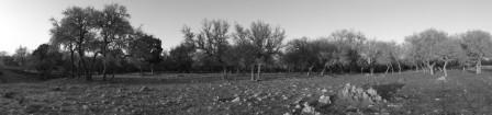 texas-live-oaks